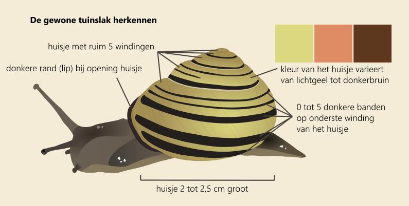 illustratie die laat zien hoe je de gewone tuinslak herkent