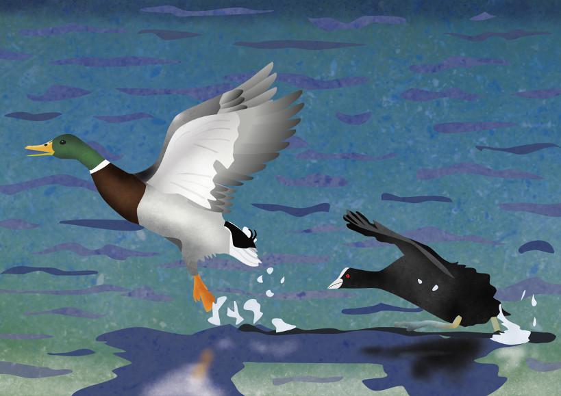 illustratie van een meerkoet die een eend wegjaagt