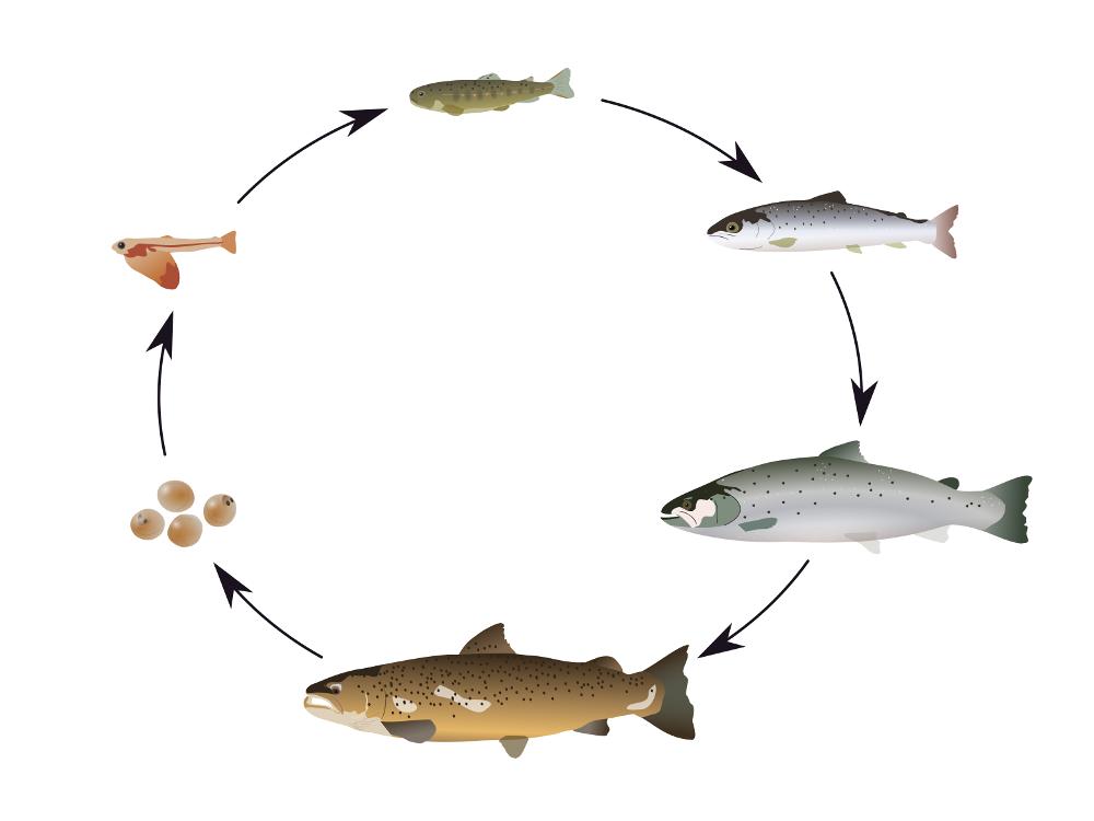 de levenscyclus van de zeeforel